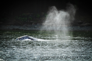 Patch the grey whale